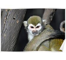 spider monkey Poster