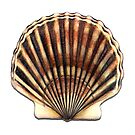 Bay Scallop (Argopecten irradians) by Tamara Clark