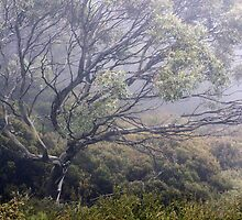 Misty Gum by Harry Oldmeadow