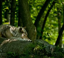 Lazy Summer Days - Timber Wolf by Michael Cummings