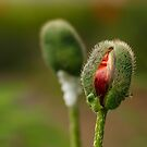 A Poppy Bud by Irina777