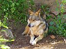 Mexican Grey Wolf ~ II  by Kimberly Chadwick