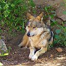 Mexican Grey Wolf ~ II  by Kimberly Chadwick