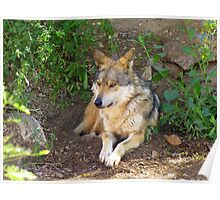 Mexican Grey Wolf ~ II  Poster