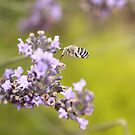 Australian Native - Blue Banded Bee - Hovering by Katherine Appleby