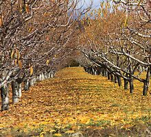 Fall in the Orchard by Santa Tom Kliner