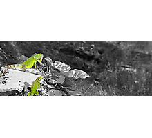 Two Iguanas -- Color isolated Photographic Print