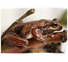 Bleating Tree Frog -  Litoria dentata. Poster