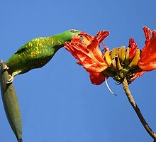 Stretch - Scaly breasted Lorikeet (Trichoglossus chlorolepidotus) on African Tulip by Gryphonn