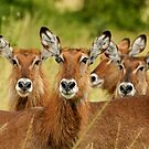 Waterbucks - Uganda by Marieseyes