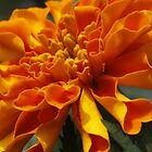Marigold  by Dennis Cheeseman