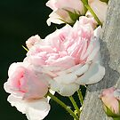Climbing Rose by Tracy Riddell