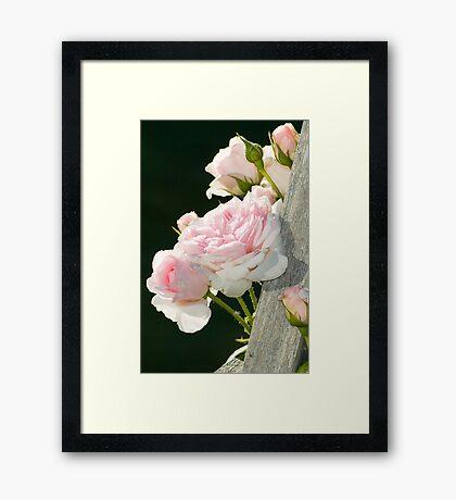 Climbing Rose Framed Print