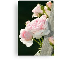 Climbing Rose Canvas Print
