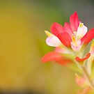 Paintbrush - Solitary Bloom by bullsAndPei