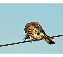 American Kestrel with Prey Photographic Print