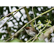 Female Black Cap listening intently Photographic Print