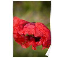 Red Poppy 5 Poster