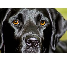Black lab Photographic Print
