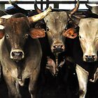 Rodeo Bulls Southwest Art - The Three Amigos cow bulls in Florida by Rick Short