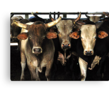 Rodeo Bulls Southwest Art - The Three Amigos cow bulls in Florida Canvas Print