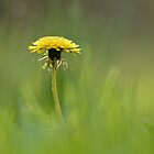 Dandelion Dream by jimHphoto
