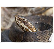 Water Moccasin Poster