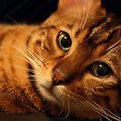 Bengal Cat - Obi by Mel Preston