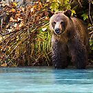 Grizzly Bear by Tracy Riddell