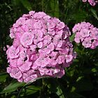 Pink Sweet William by Debbie Meyers