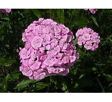 Pink Sweet William Photographic Print