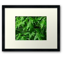 That Maple Spring Freshness.... Framed Print