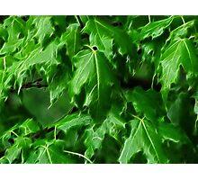 That Maple Spring Freshness.... Photographic Print