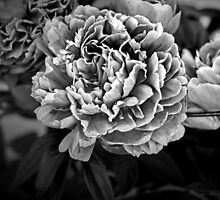 Peonies in Black by Annie Lemay  Photography