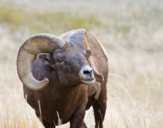 Bighorn Ram by Kim Barton
