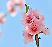 Peach Tree Blossom by Nick Conde-Dudding