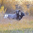 Bighorn Rams Calling by Kim Barton