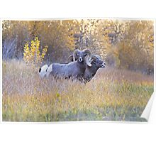 Bighorn Rams Calling Poster