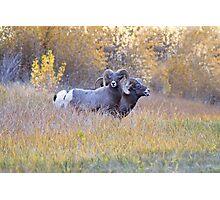Bighorn Rams Calling Photographic Print