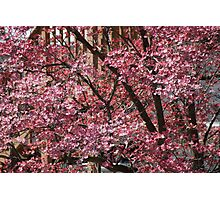 Dogwoods in Pink Photographic Print