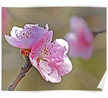 Peach Tree Flowers Poster
