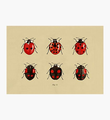 Coccinellidae entomology studies fig. 11 Photographic Print