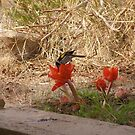 Haemanthus coccineus,blood lily and honey eater. by Rita Blom