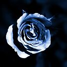 Icelight Rose by Ashli Zis
