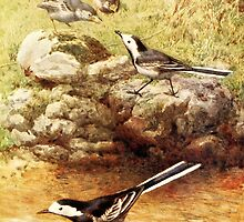 Pied Wagtails Vintage Art by goldenmenagerie