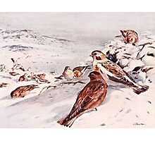 Winter Scene with Snow Buntings Photographic Print