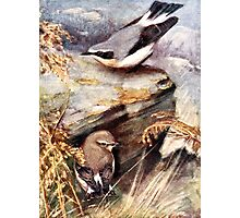 Wheatear Birds Painting Photographic Print