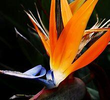 Bird of Paradise by Darsha Gillmore