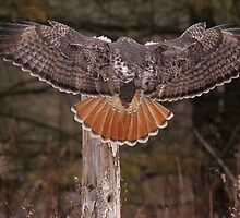 Red Tail Wingspan by Gary Fairhead