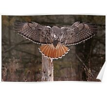 Red Tail Wingspan Poster